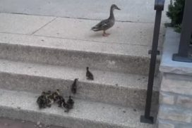 54-madre-pato-y-sus-patitos
